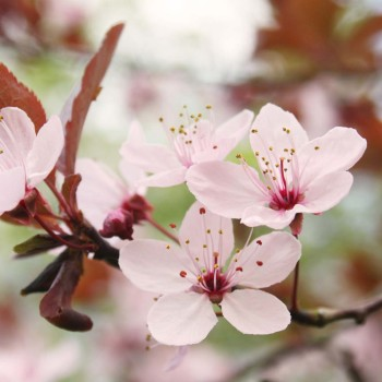Cherry-blossom-Latest-HD-Wallpapers-Free-Download-7